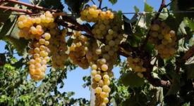 Uvas pisqueras y variedades de pisco