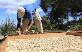 ¿Cómo se produce el café en el Perú?