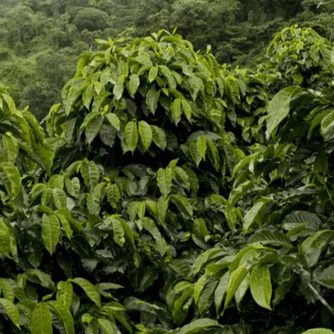 Plantación de café. Se aprecian cafetos de adultos sin frutos, de la variedad arábica. </div>