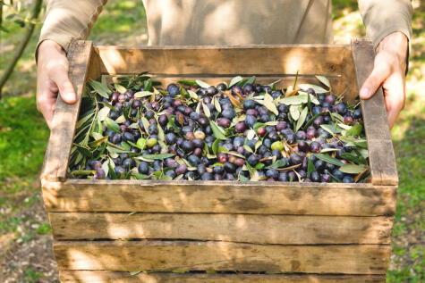 Las aceitunas frescas, recién cosechadas tiene un olor y sabor muy distinto al de las aceitunas de botija o en salmuera.