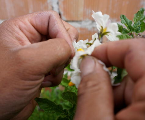 La polinización la realiza manualmente, tomando el polen de una flor de papa, que pasa a otra.
