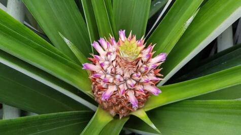La flor de la piña luego se convertirá en el fruto. </div>
