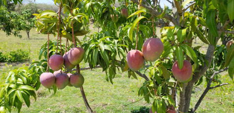 Muchas de las variedades que se producen actualmente se desarrollaron genéticamente en Florida, Estados Unidos, en la primera mitad del siglo pasado.
