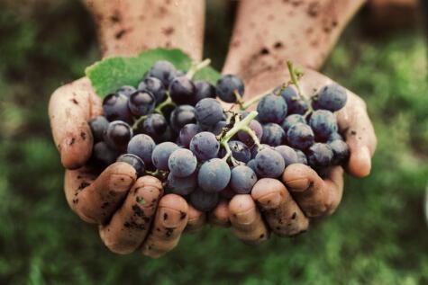 Los vinos naturales buscan producir con la menor intervención posible.