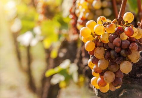 Algunos racimos desarrollan un hongo llamado botritis, que bien manejado puede resultar en vinos dulces excepcionales.
