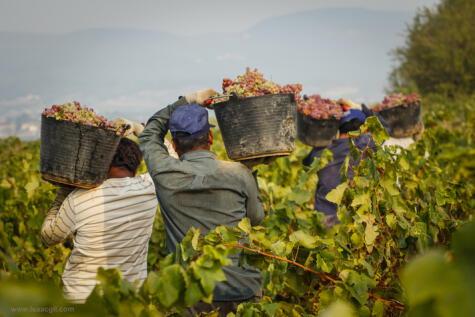 Las cosechas de uva empiezan en octubre, para cubrir la demanda del mercado internacional.
