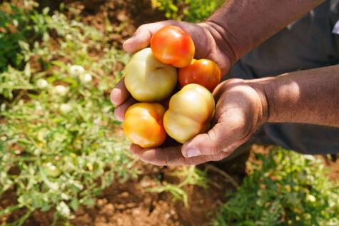 Los tomates y las fresas están entre los productos con mayor contenido de pesticidas.