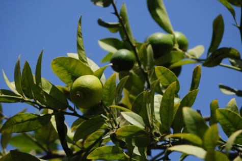 Los limoneros se han acondiconado muy bien al suelo de la costa norte. Piura lidera la producción con más del 50% de la producción nacional.