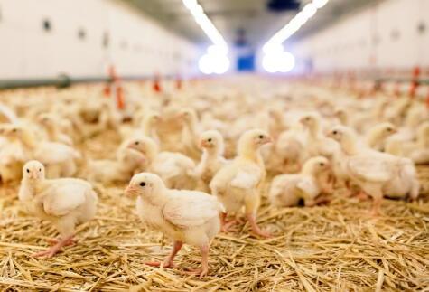 La crianza de los pollos es el resultado de años de selección de los mejores ejemplares.