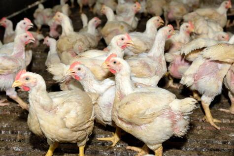 Las aves de corral viven en condiciones poco higiénicas, por eso son uno de los principales agentes contaminantes.