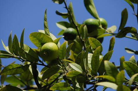 El limonero llegó de Asia pero se ha adaptado a la perfección al suelo norteño.