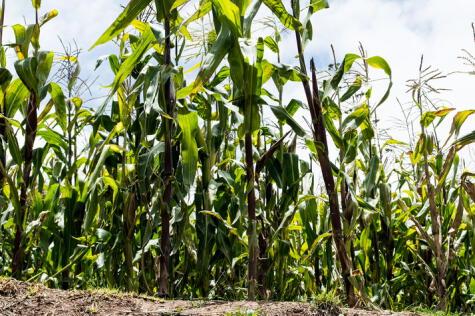 Los cultivos de maíz blanco del Urubamba producen un choclo único.