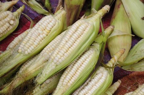 La mazorca puede llegar a medir hasta 30 cm; los granos son los más grandes y tiernos del Perú.