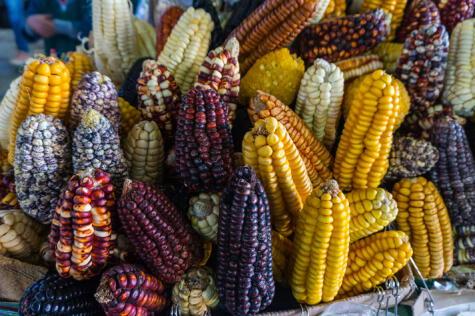 De las más de 50 variedades de razas de maíz, ninguna tan exitosa ni sabrosa como el Maíz Blanco del Valle Sagrado.