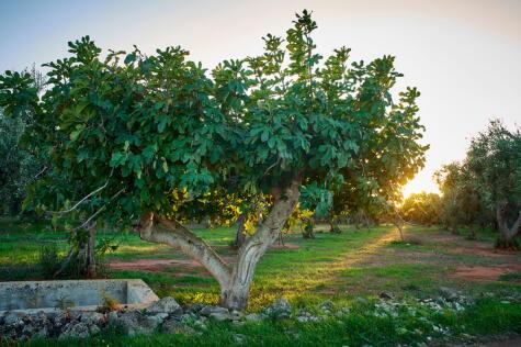 La higuera es uno de los primeros árboles domesticados por el hombre.