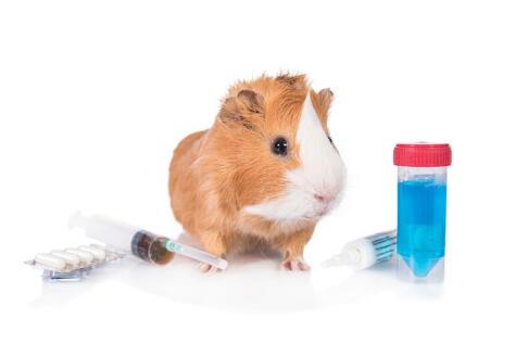 Usado como sujeto de experimentaciones científicas, el conejillo de indias ha sido clave en muchos descubrimientos en beneficio para el hombre.