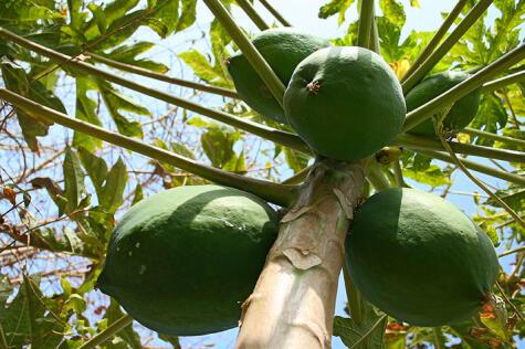 El papayo crece en casi todo el Perú, pero necesita condiciones favorables —mucho sol— para florecer y dar frutos.