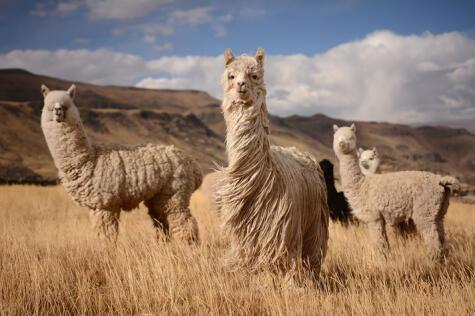 La carne de alpaca es muy nutritiva; aunque el camélido es más conocido por su lana.