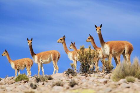 ¿Sabías que la alpaca es una especie derivada de la domesticación de la vicuña hace miles de años?