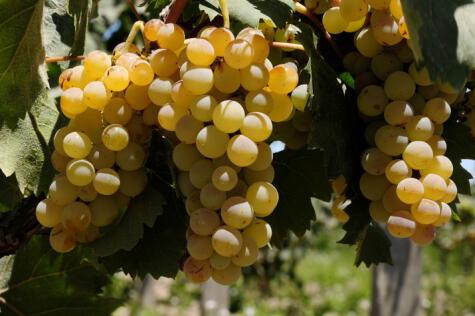Las uvas pisqueras son ocho, y los estilos, tres: pero las posibilidades de expresión del pisco peruano son infinitas.